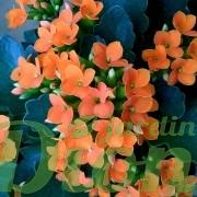 kalanchoe-blossfeldiana-plante grasse-fleurs orangées