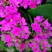 kalanchoe-blossfeldiana-plante grasse-fleurs rose fonce
