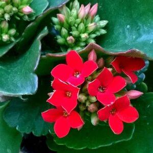 kalanchoe-blossfeldiana-plante grasse-fleurs rouges