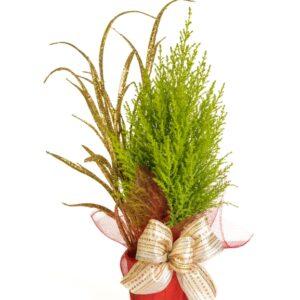 pl-0559-noel-decore-cypres-cupressus-gold crest-conifere