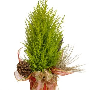 pl-0560-noel-decore-cypres-cupressus-gold crest-conifere-cone de pin