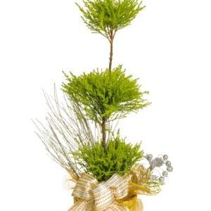 pl-0562-noel-decore-cypres-cupressus-gold crest-conifere-taillé-topiaire