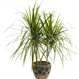 pl-0553-dracaena-pot decoratif-mi-ombre