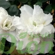 rhododendron simsii-azalea-indica-azalee d'interieur-blanc-fleurs blanches