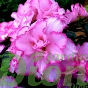 rhododendron simsii-azalea-indica-azalee d'interieur-blanc-fleurs roses