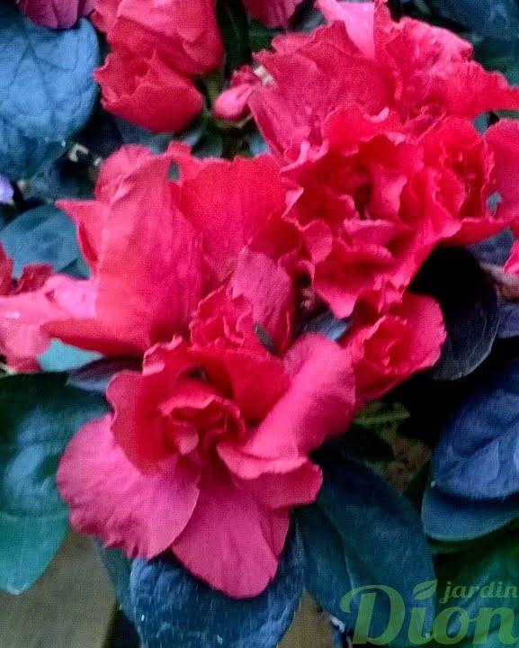 rhododendron simsii-azalea-indica-azalee d'interieur-blanc-fleurs roses foncees