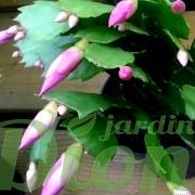 schlumbergera-truncata-cactus de noel-boutons floraux-feuillage-fleurs roses