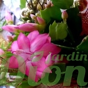schlumbergera-truncata-cactus de noel-feuillage-fleurs roses