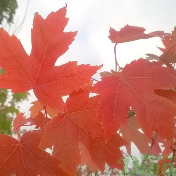 acer-freemanii-érable-autumn blaze-automne