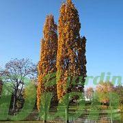 Quercus robur 'Fastigiata' en automne