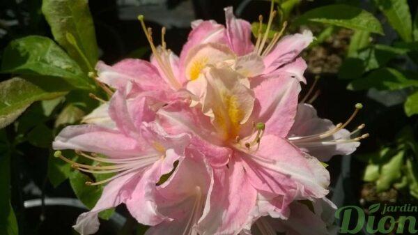 azalea-rhododendron-azalée-tri-lignts