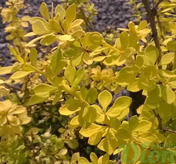 berberis-thunbergii-aurea nana-épine-vinette-jaune-naine