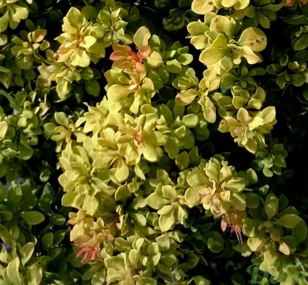 berberis-thunbergii-golden nuggets-épine-vinette