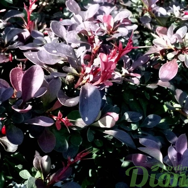 berberis-thunbergii-royal burgundy-(gentry)-épine-vinette