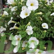 calibrachoa-million-bells-blanc