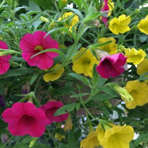 calibrachoa-million-bells-jaune-rose