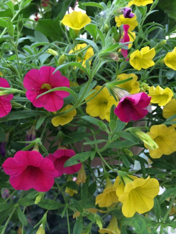 calibrachoa-million-bells-jaune-rose