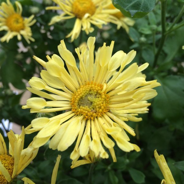 chrysanthemum-mammoth-yellow-chrysantheme