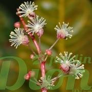 codiaeum-variegatum-croton-floraison