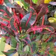 codiaeum-variegatum-mammy-croton-feuillage