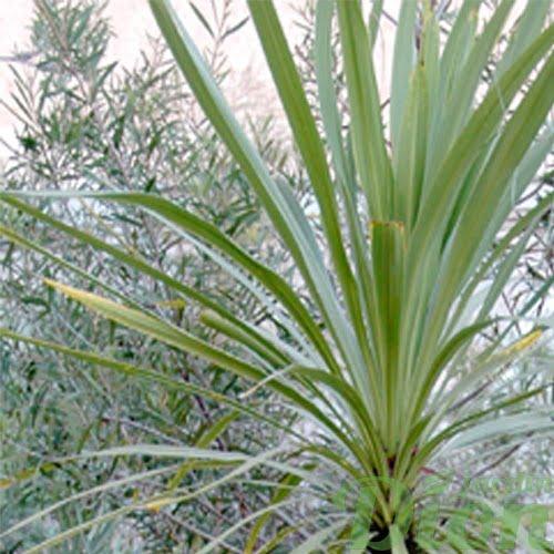 cordyline-australis-dracaena-vert-commun