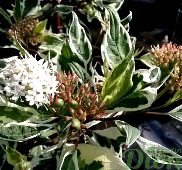 cornus-alba-elegantissima-cornouillier argenté