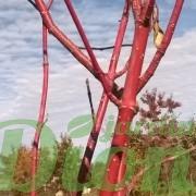 cornus alba elegantissima-cornus-argenté-ivory-halo-tiges rouges-écorce-