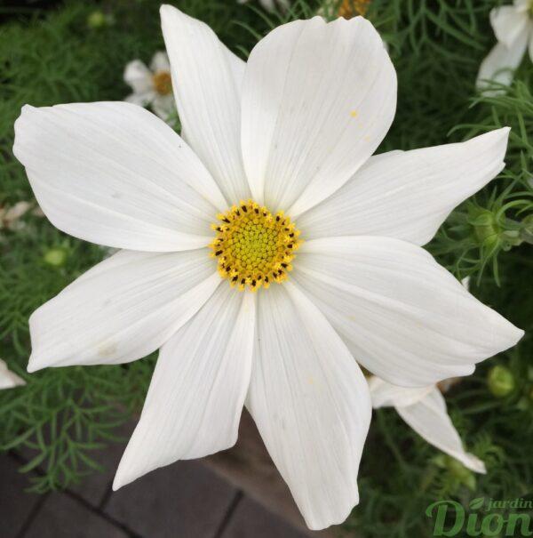 cosmos- bipinnatus-sonata-nain-blanc