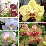 couleurs-orchidée-phalaenopsis-orchidée papillon (3)