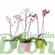 couleurs-orchidée-phalaenopsis-orchidée papillon