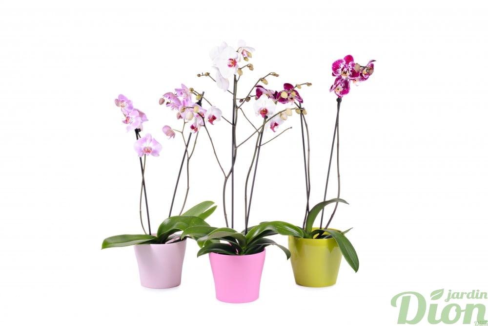 orchid e phalaenopsis jardin dion. Black Bedroom Furniture Sets. Home Design Ideas
