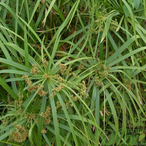 cyperus-alternifolius-fleurs et feuilles-annuel-aquatique-milieux humides