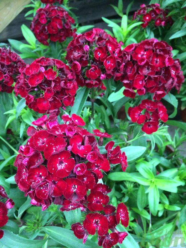 dianthus-chinensis-dash-crimson