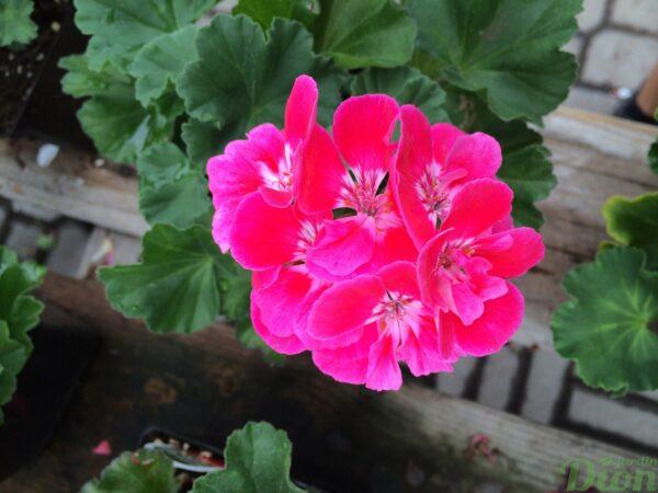 geranium-hortorum-érigé-fleurs doubles-moonlight-vineta-rose-foncé