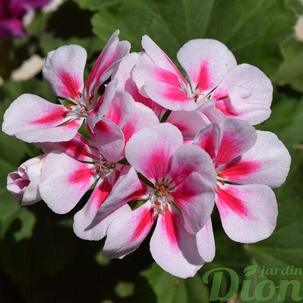geranium-hortorum-pelargonium-mrs henry cox