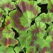 Feuilles du géranium hortorum zonal