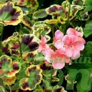 Géranium hortorum à feuillage panaché