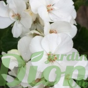 geranium-hotorum-érigé-blanc