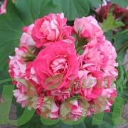 fleurs doubles