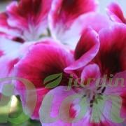 Fleurs d'un géranium regal