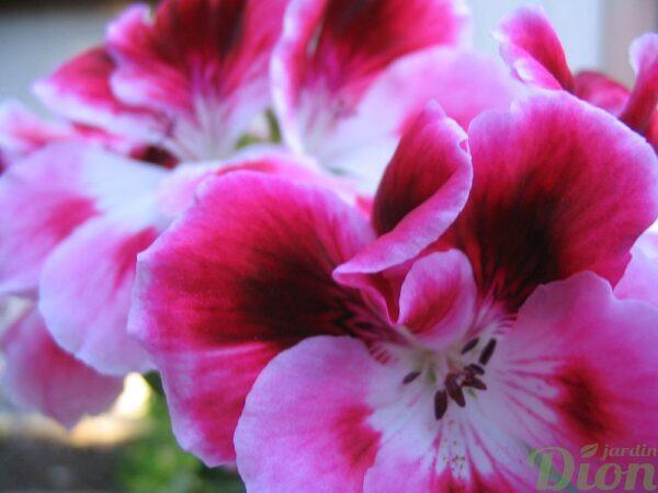 geranium-regal-pelargonium-fleurs
