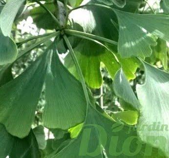 ginkgo-biloba-arbre aux 40 écus