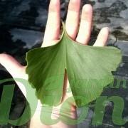 Taille de la feuilles