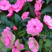 impatiens-de-nouvelle-guinee-rose2