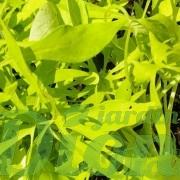 Lime, finement dentelé
