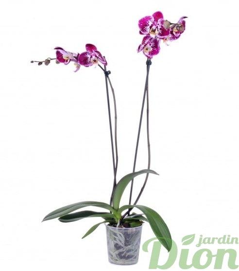 orchidée-phalaenopsis-orchidée papillon
