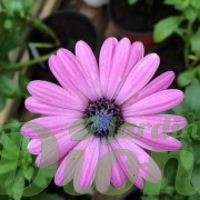osteospermum-marguerite d'afrique-astra-pink