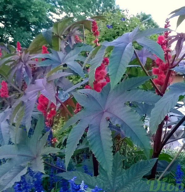 ricinus-communis-pourpre-ricin commun rouge