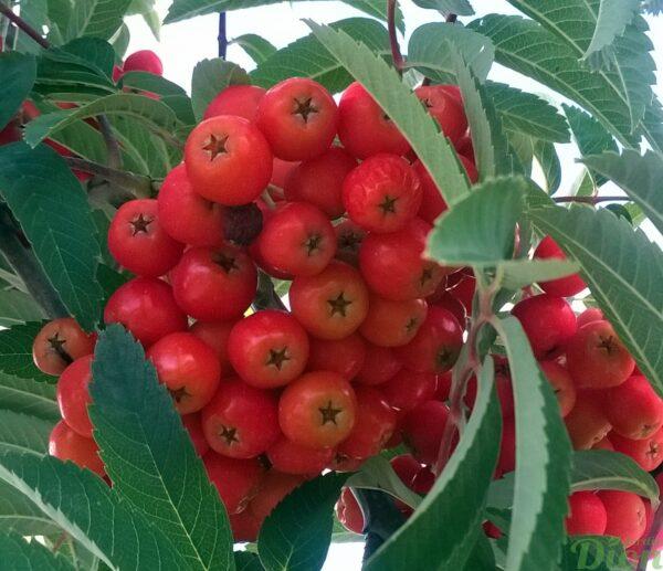 sorbus-acuparia-fastigiata-sorbier des oiseaux-fastigié-fruits