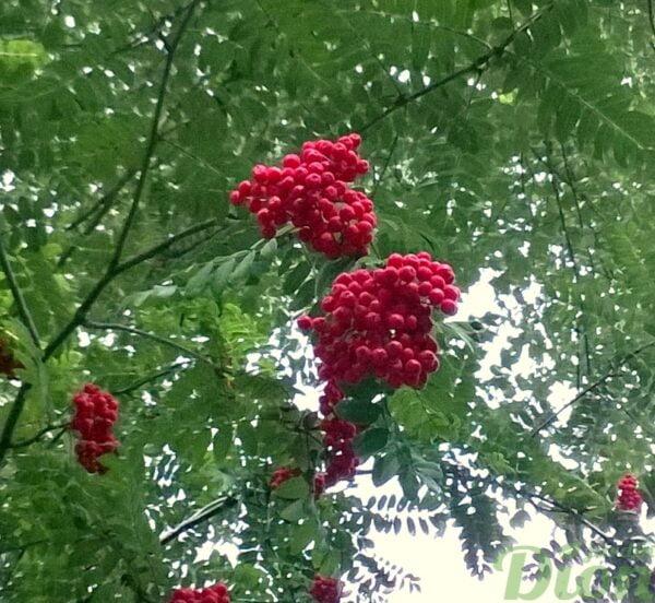 sorbus-aucuparia-cardinal-royal-sorbier des oiseaux